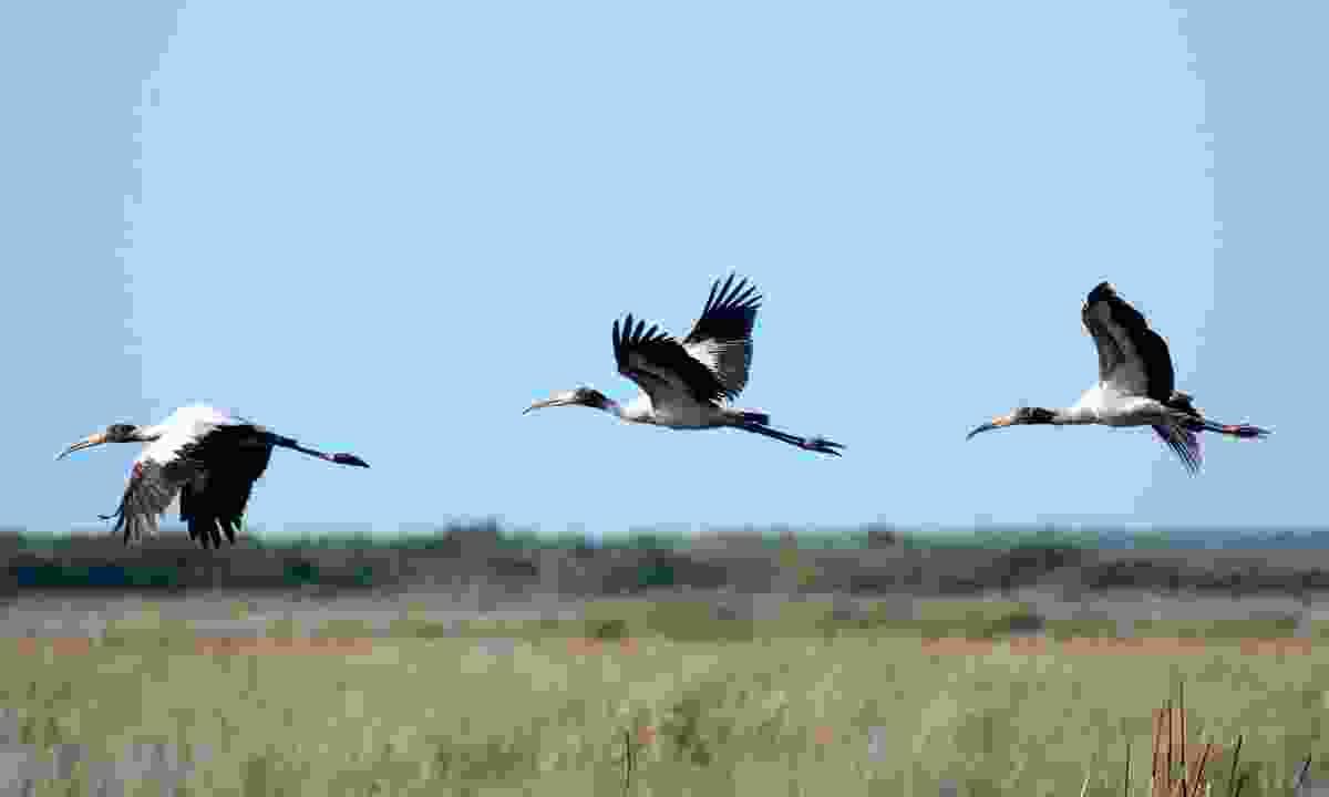 Wood storks flying over big cypress swamp (Jason Boeckman)