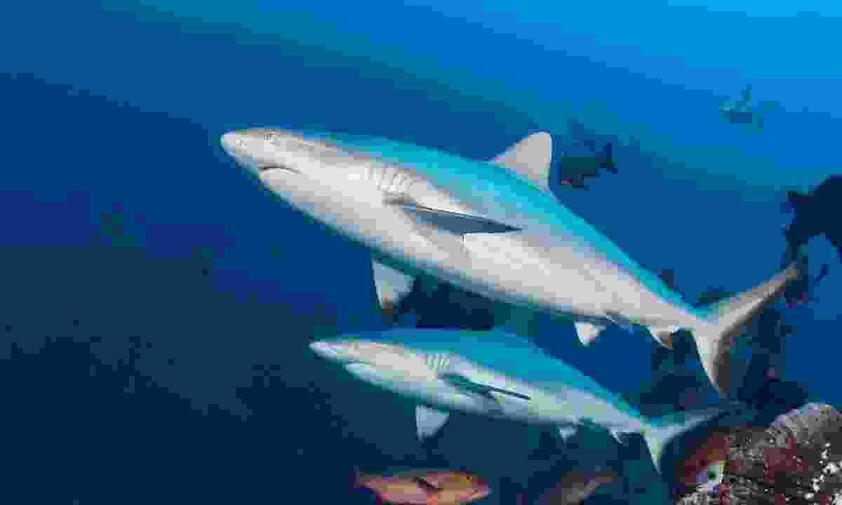 Dive among sharks (Markus Roth)