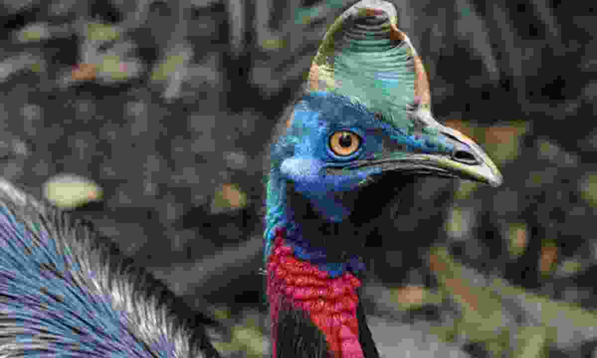 Northern cassowary (Brian Coates)