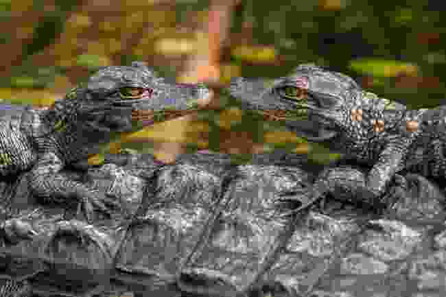 Alligators along the Shark Valley Trail, Florida (Shutterstock)