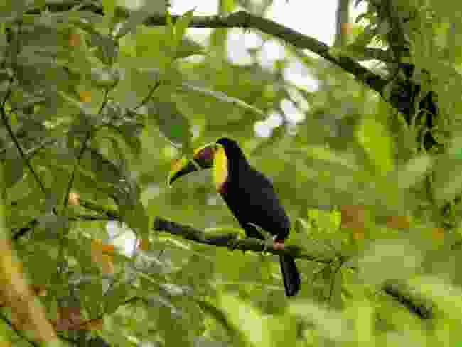 A chestnut-mandibled toucan perches at the Arenal Observatory Lodge (Alexander Metcalfe)