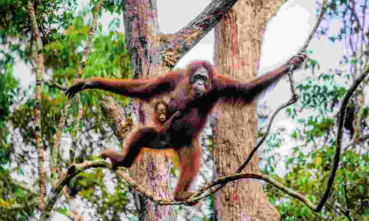 Orangutan in Borneo (Dreamstime)