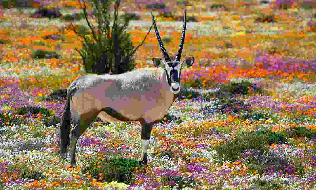 An oryx in South Africa's Northern Cape province (Shutterstock)