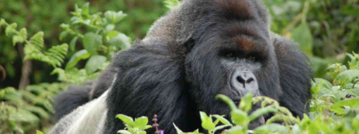 Mountain gorillas: an unforgettable experience (Sara&Joachim)