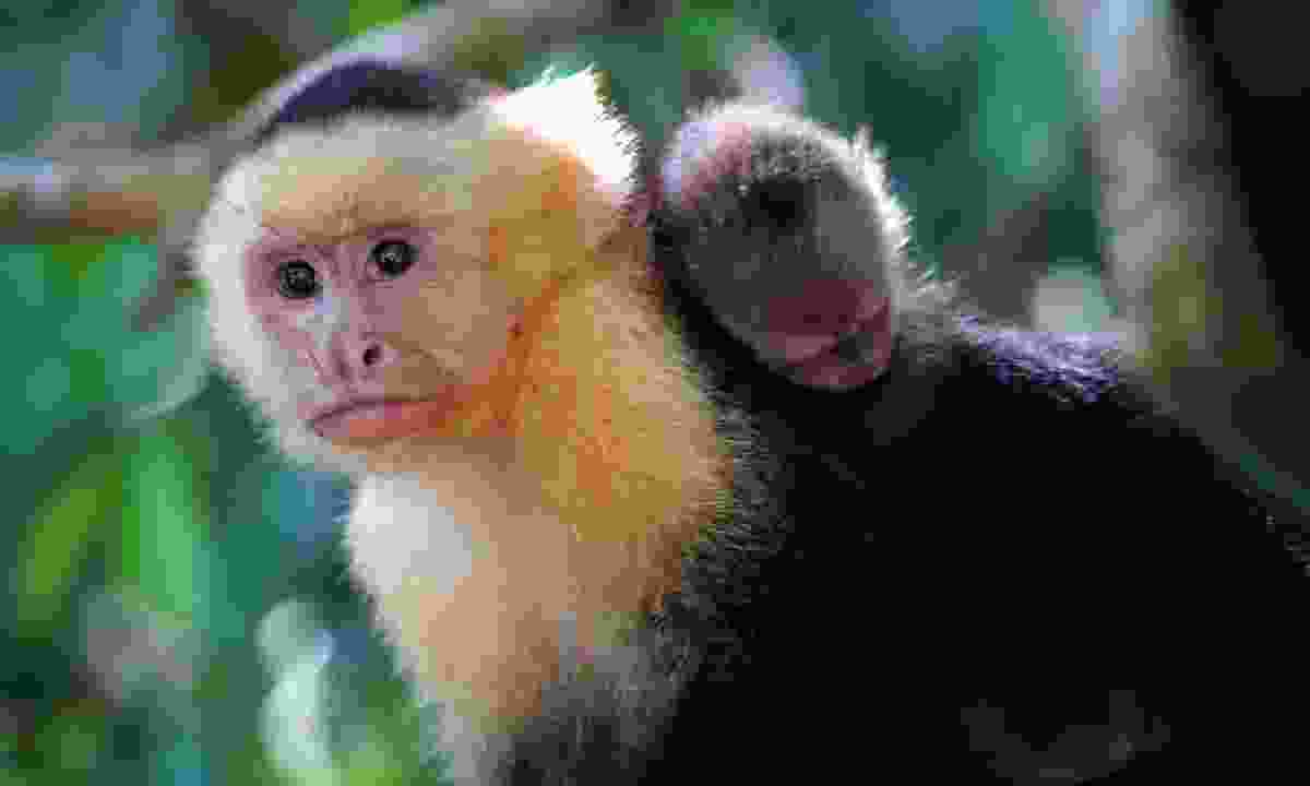 See capuchin monkeys in Costa Rica