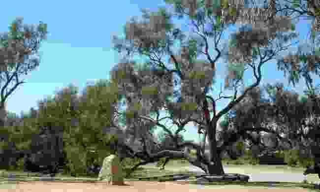 Burke and Wills Dig Tree, Coopers Creek (Creative Commons: Peterdownunder )