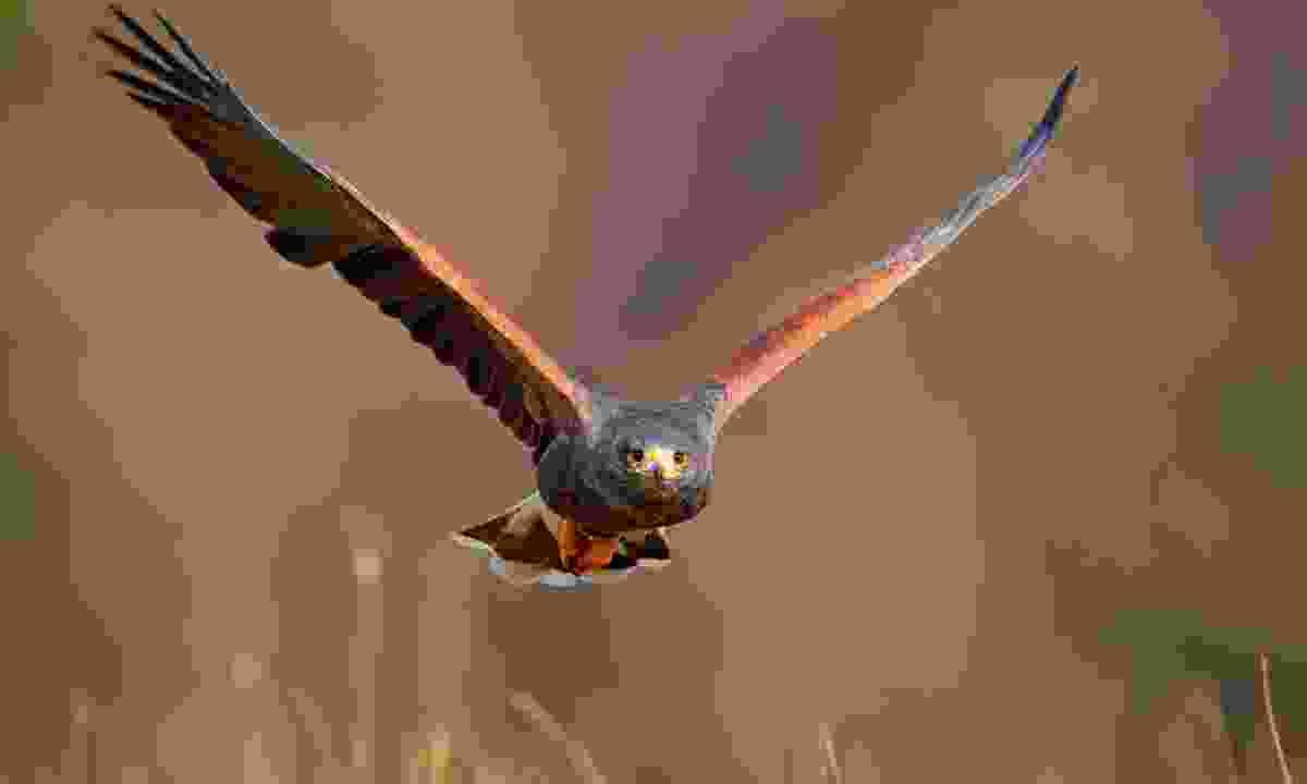 A Harris hawk in flight (Dreamstime)