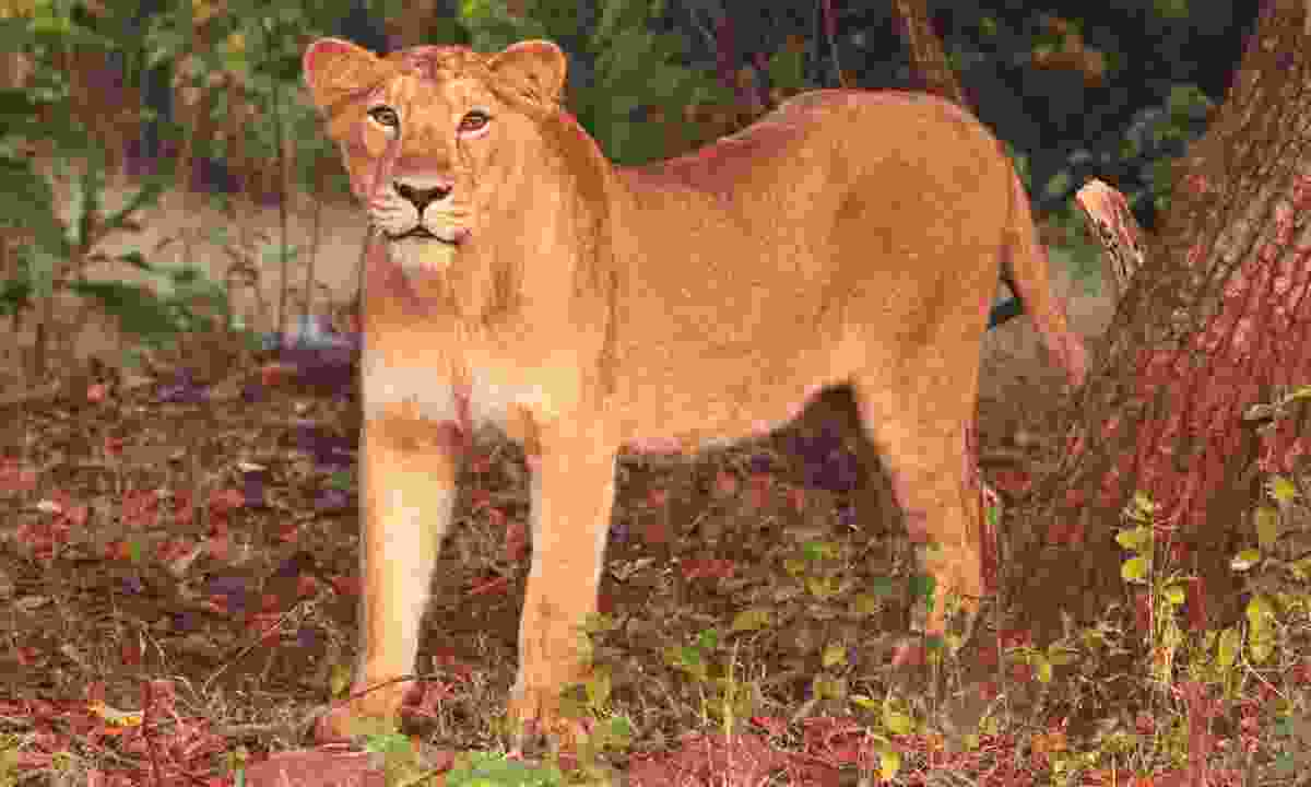 An Asiatic lioness (Dreamstime)