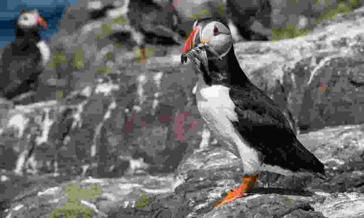 A puffin on the Farne Islands (Dreamstime)