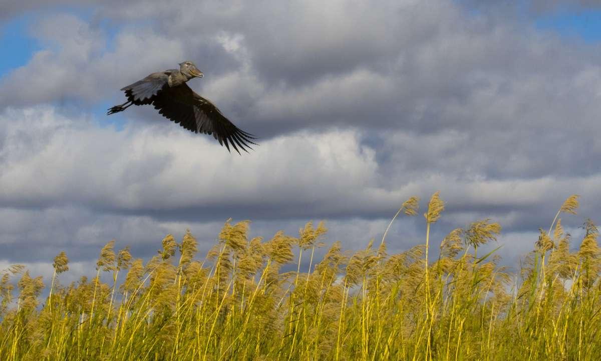Shoe-billed stork flying over the Bangweulu swamps (Dreamstime)