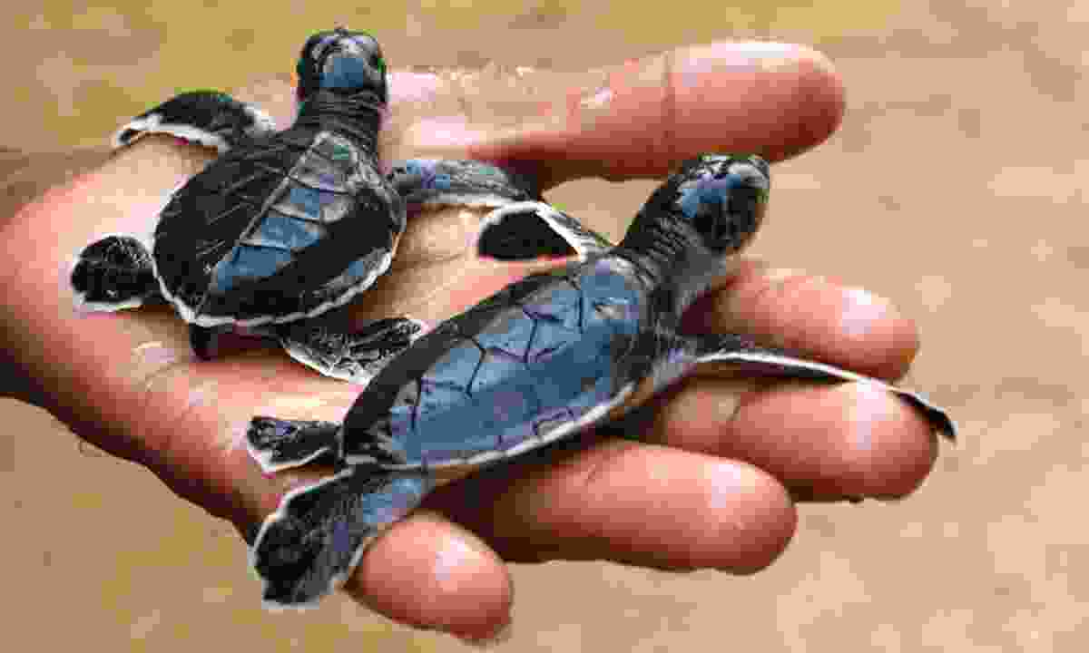 Turtle hatchlings in Sri Lanka (Dreamstime)