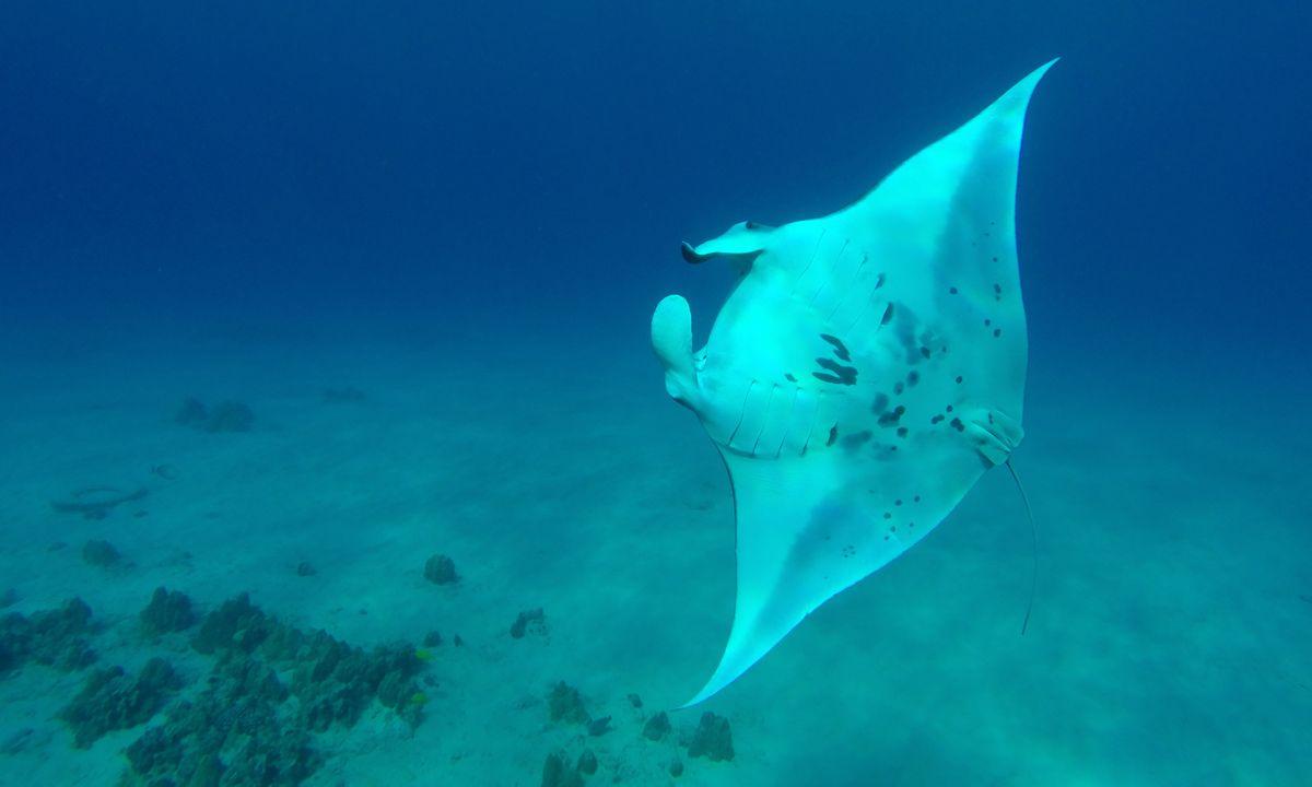 Manta ray in Hawaii (Hawai'i Tourism Authority/Kirk Lee Aeder)