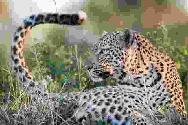 Close-up of a leopard in Djuma Private Game Reserve, South Africa (Shutterstock)