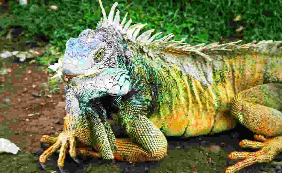Iguana from the National Park of Guayaquil, Ecuador (Dreamstime)