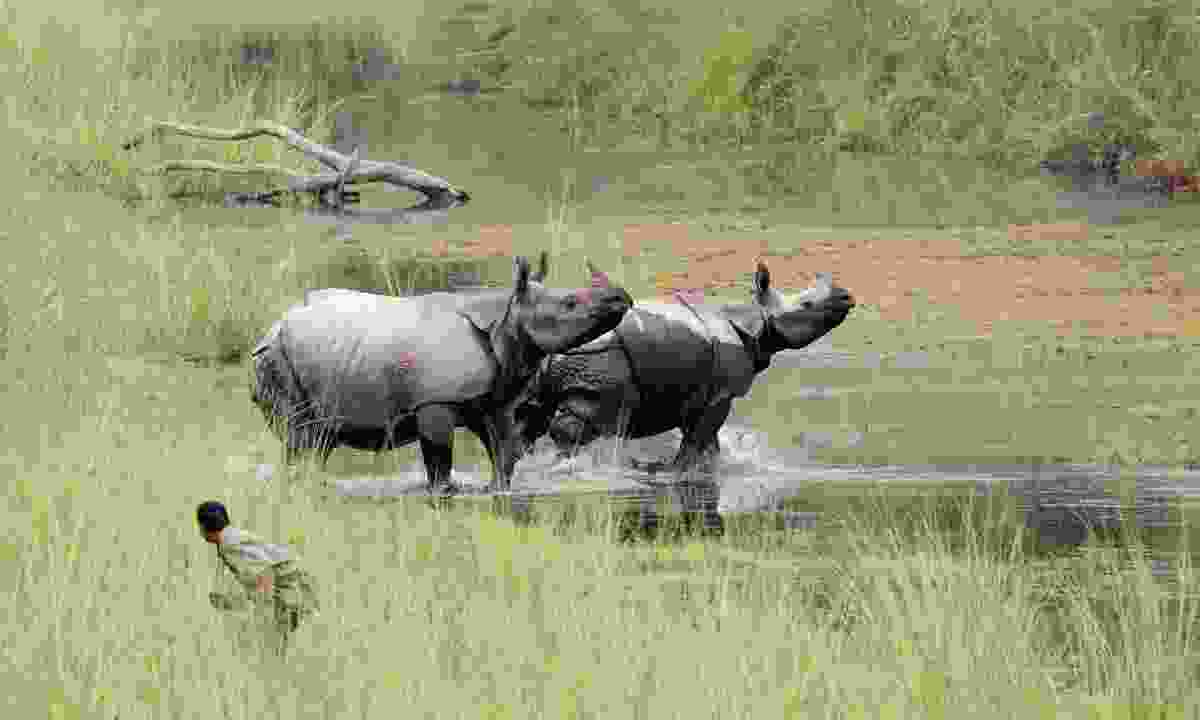 A guide getting close to two one-horned rhino at Bardia National Park, Nepal  (Dreamstime)