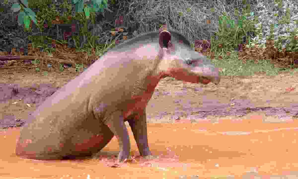 A tapir in Brazil's Pantanal (Dreamstime)