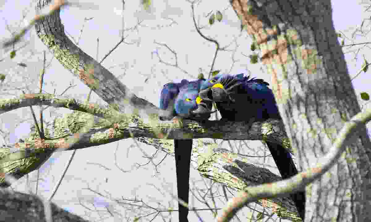 A pair of hyacinth macaws showing each other affection. Macaws are monogamous, mating for life (Dreamstime)