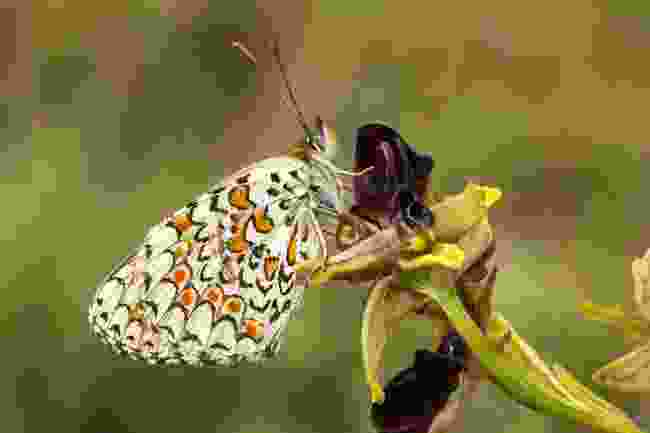 The rare Glanville fritillary butterfly (Shutterstock)