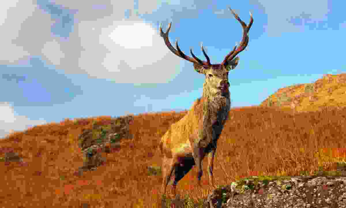 Wild stag in the Scottish Highlands (Shutterstock)