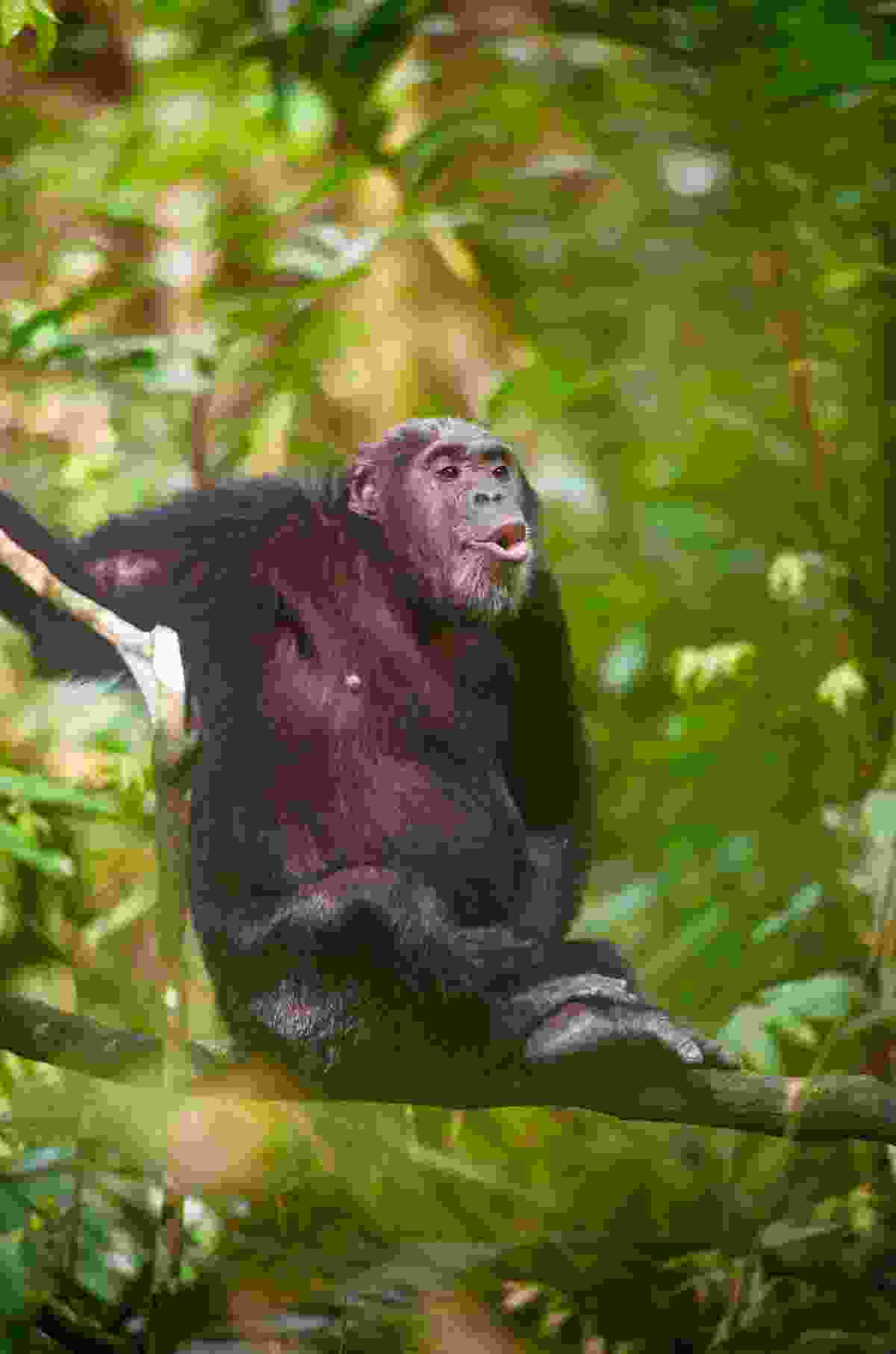 Chimpanzee, Mahale, Tanzania (Margot Raggett)