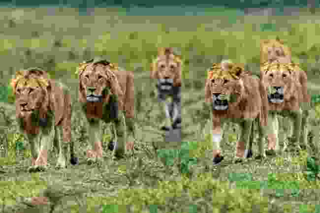 The famous Marsh Pride in Masai Mara National Reserve, Kenya (Animal Planet)