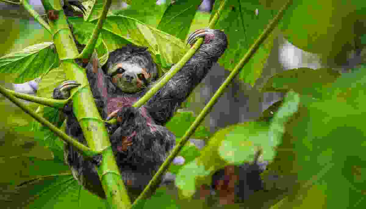 Three-toed sloth, Manú National Park, Peru (Art Wolfe)