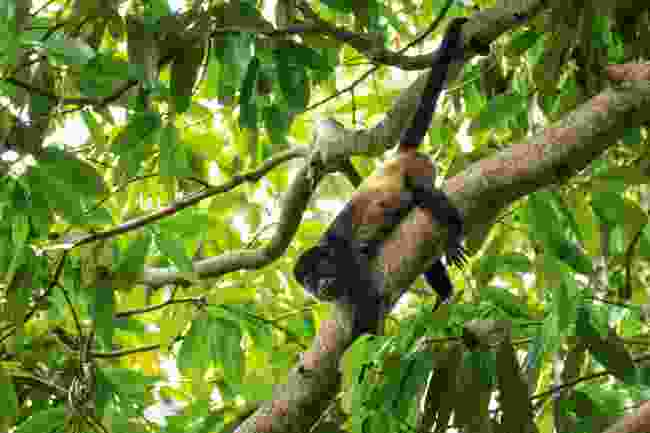 A howler monkey foraging for food (Sarah Gilbert)