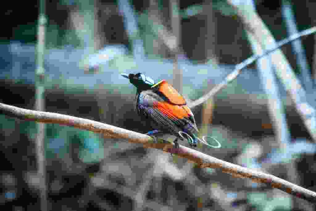 A male Wilson's bird of paradise in his lek (Alex Robinson)