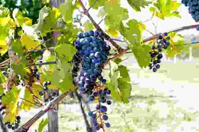 Fruška Gora's vineyards (Shutterstock)