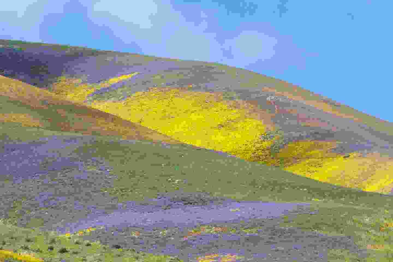 The super bloom in the Mojave Desert, California (Shutterstock)