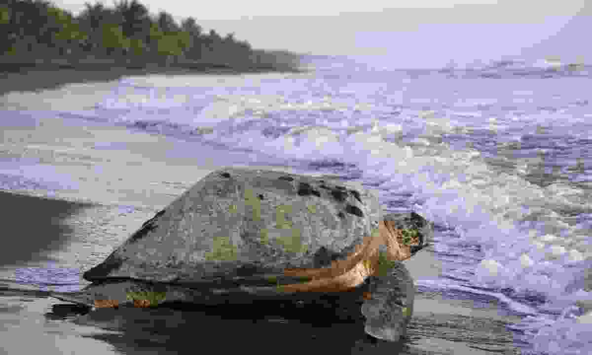 Sea turtle in Tortuguero National Park (Dreamstime)