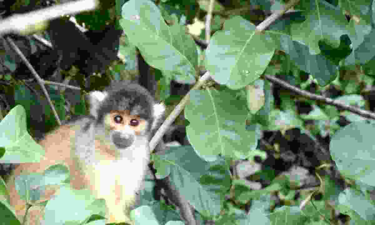 A squirrel monkey in Rurrenabaque (Ellie Kinsella)
