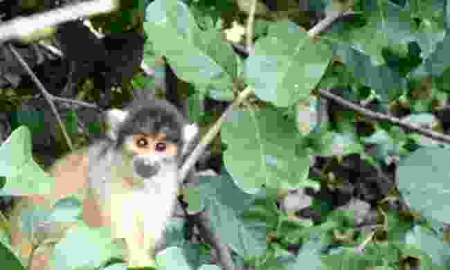 A squirrel monkey in Rurrenabaque (Ellie Kinsella)