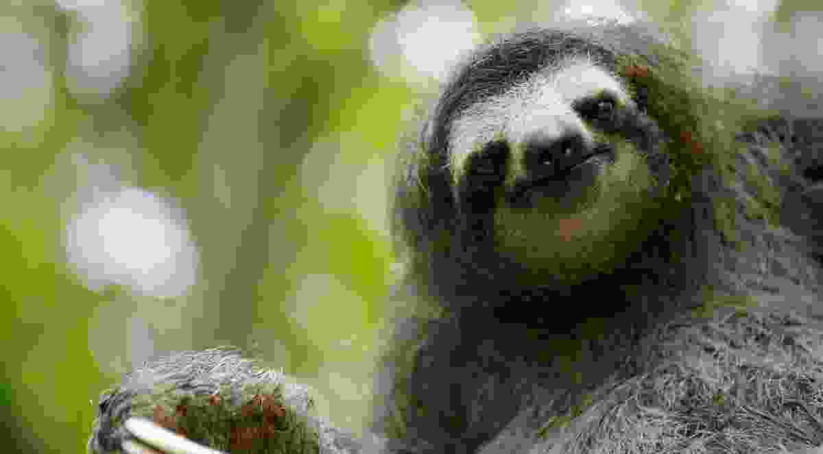 Three-toed sloth (BBC NHU)