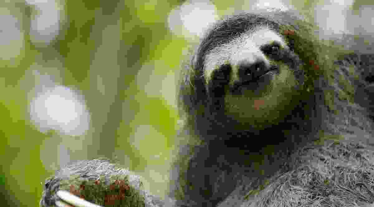 Three-toed sloth (BBC NHU)