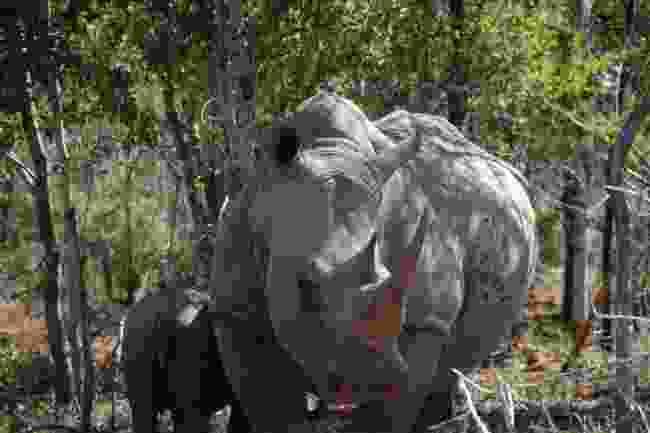 Rhinos in Hlane Royal National Park, Eswatini (Bresmedia)