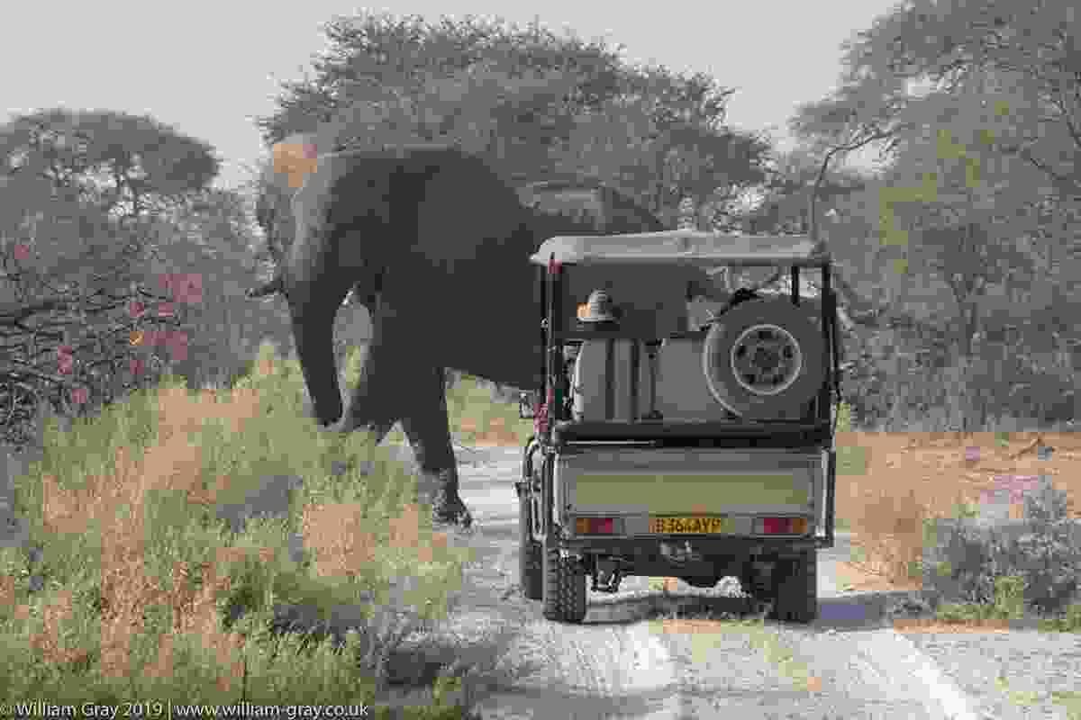 Bull elephant road block, Kalahari, Botswana (William Gray)
