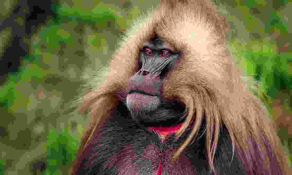 Gelada baboon (Dreamstime)