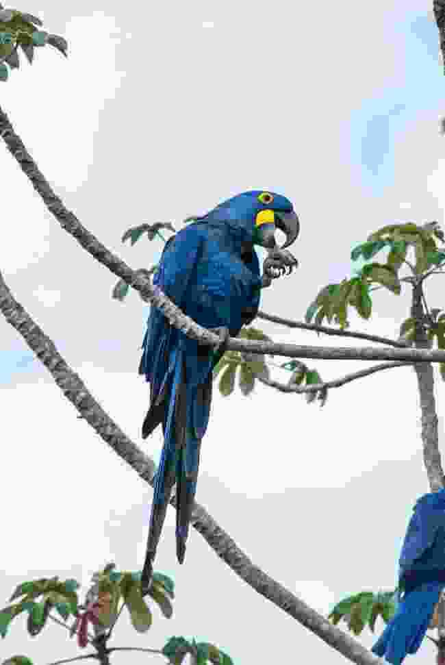 Hyacinth macaws are one of the largest and rarest animals in the world (Simon Chubb)
