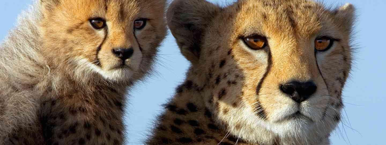 Cheetah and cub, Kenya (Angela Scott)