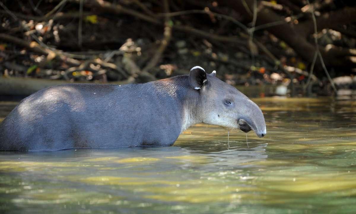A tapir in Corcovado National Park (Dreamstime)