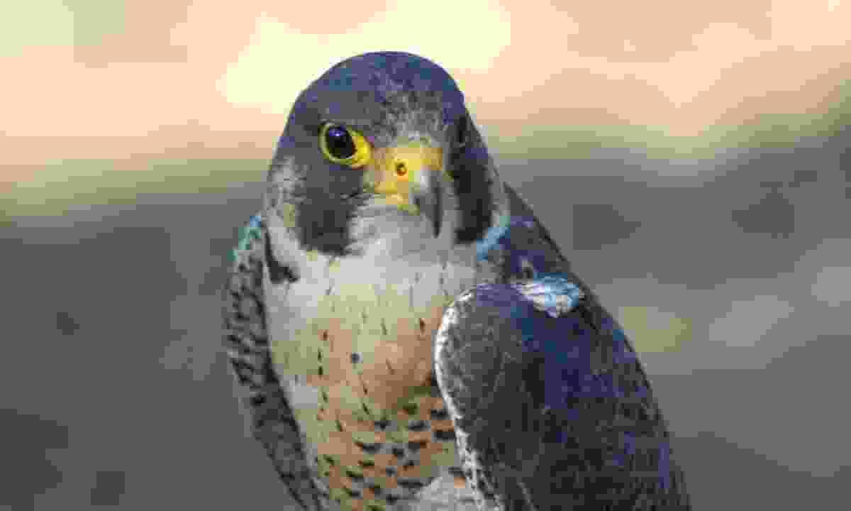A falcon near Sibenik in Croatia (Dreamstime)