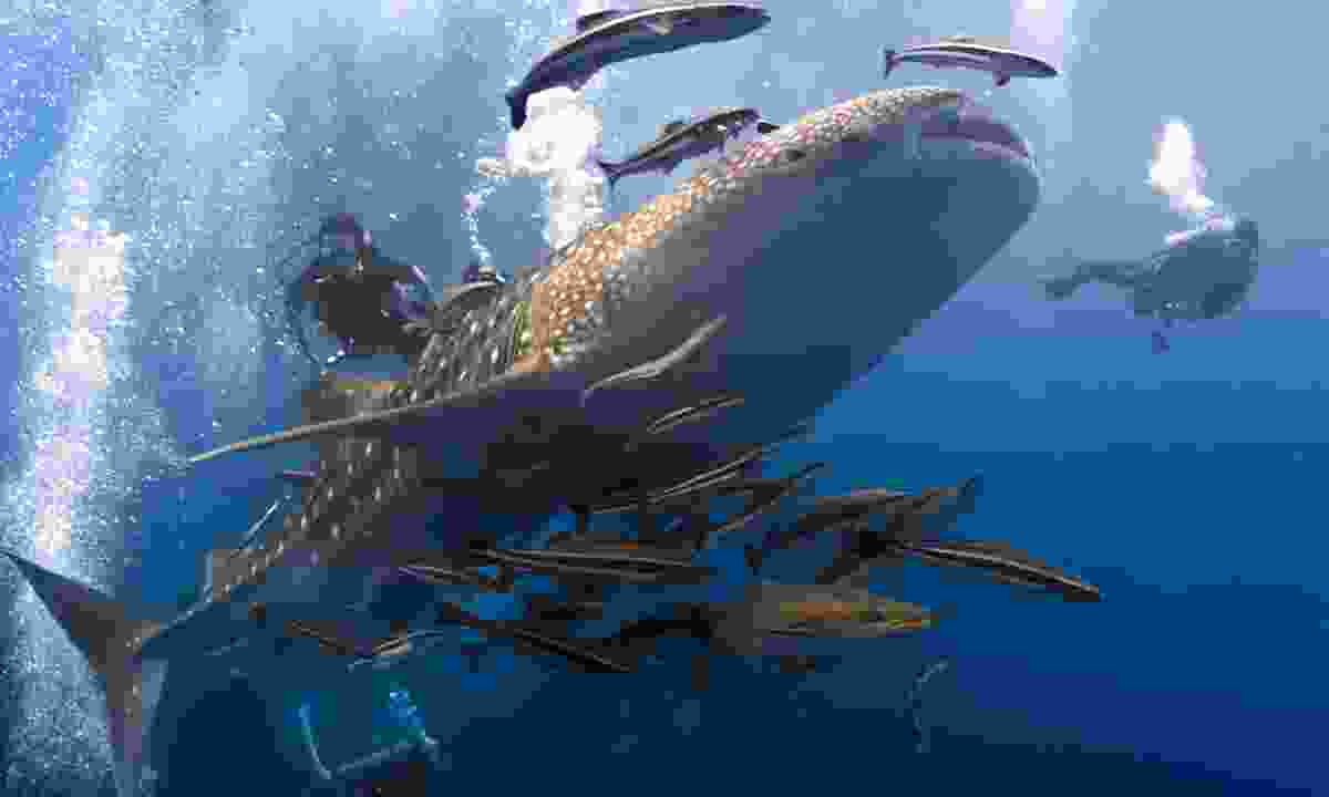 Diving with a whale shark (Dreamstime)
