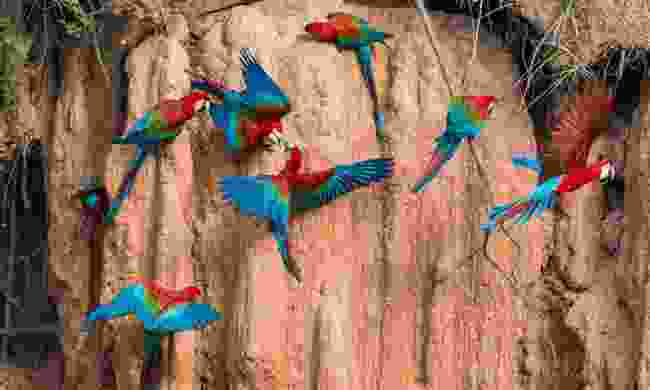 Macaws on a clay lick in the Peruvian Amazon jungle (Dreamstime)