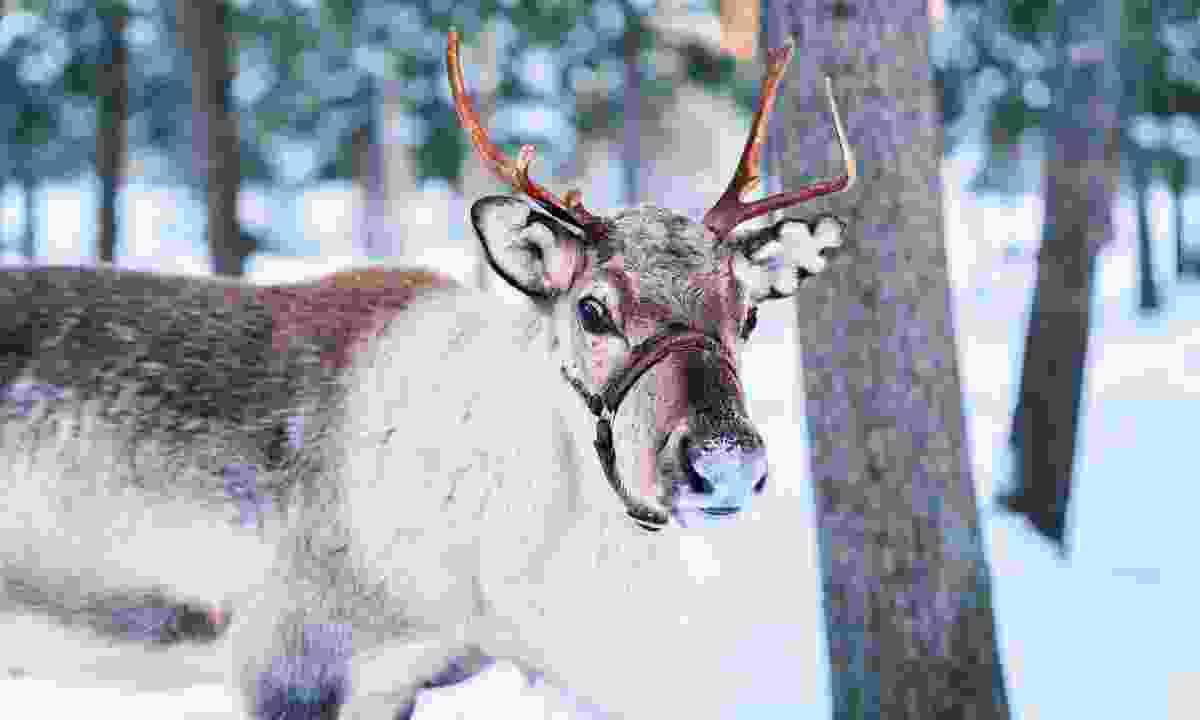 A reindeer in Finland (Shutterstock)