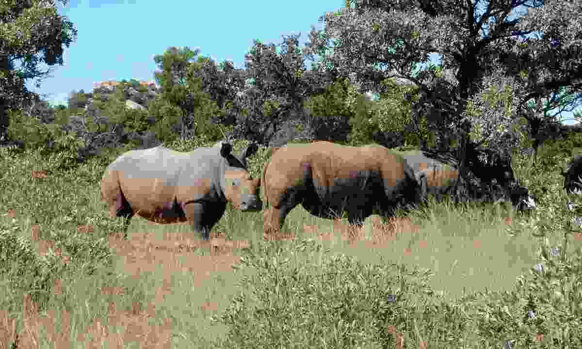 White rhino in the Matobo Hills (Kristen Henton)