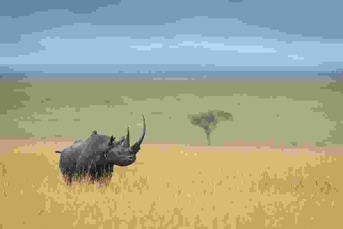 Black rhino in Kenya (David Lloyd)
