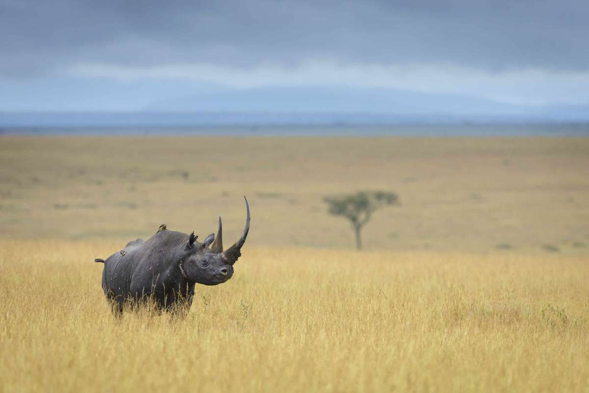 Black rhino in Kenya (David Lloyd)