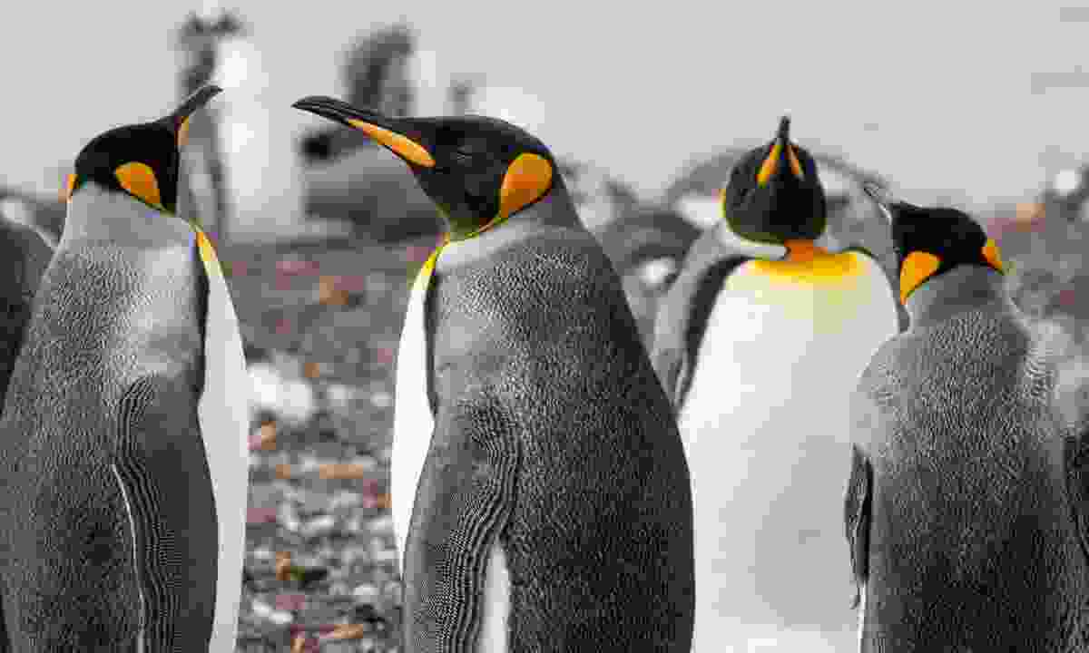 Colony of king penguins (Dreamstime)