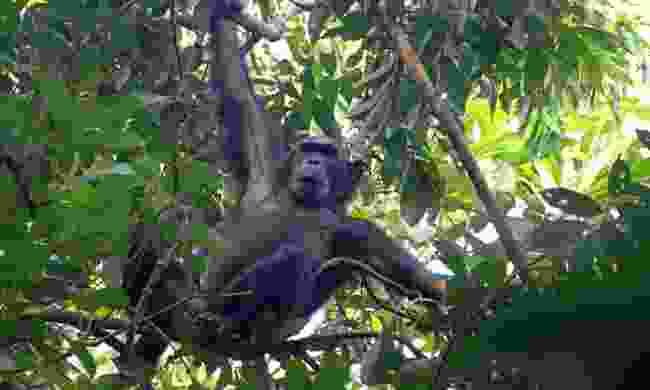 Male chimpanzee clinging to a tree in Gombe Stream National Park (Dreamstime)